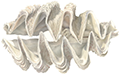 Giant Clam illustration