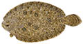 Smalltoothed flounder illustration