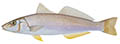 Yellowfin whiting illustration