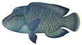 Humphead Maori wrasse illustration