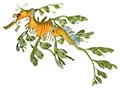 Leafy seadragon illustration