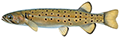 Trout Minnow illustration