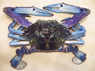Image of male blue swimmer crab