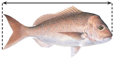 Pink snapper illustration