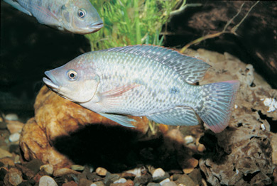 photo of a Tilapia