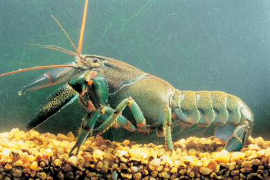 photo of a Yabby