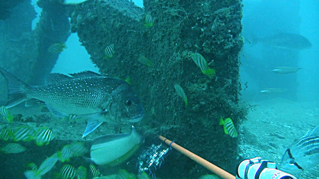 Various fish species including pink snapper and West Australian dhufish swimming around an artificial reef module