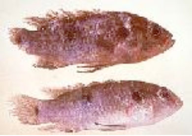 Diseases of farmed goldfish and koi
