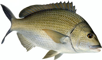 black bream illustration